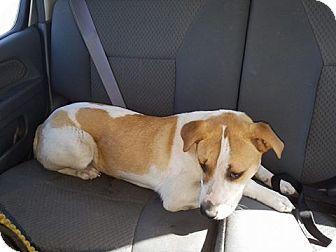 Hound (Unknown Type)/Terrier (Unknown Type, Medium) Mix Dog for adoption in Summerville, South Carolina - Jasper