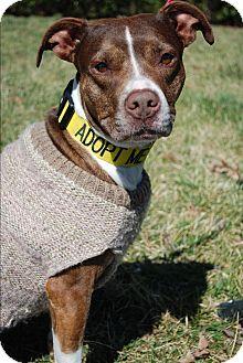 American Staffordshire Terrier Dog for adoption in Richmond, Virginia - Ada