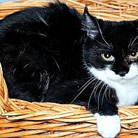 Adopt A Pet :: Sage - Gatineau, QC