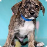 Adopt A Pet :: Nutmeg - Waldorf, MD