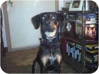 Doberman Pinscher/Rat Terrier Mix Puppy for adoption in Acme, Pennsylvania - Taz