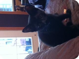 American Shorthair Kitten for adoption in Weatherford, Texas - Velvet