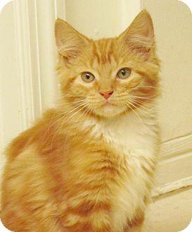 Domestic Mediumhair Kitten for adoption in Seminole, Florida - Rusty