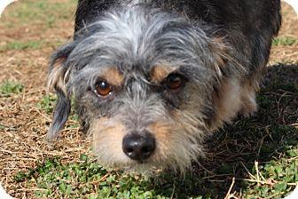 Yorkie, Yorkshire Terrier/Schnauzer (Miniature) Mix Dog for adoption in Washington, D.C. - Buttercup
