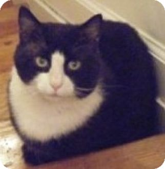 Domestic Shorthair Cat for adoption in Kensington, Maryland - Petey