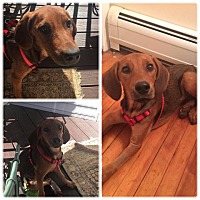 Adopt A Pet :: Ginger - North Brunswick, NJ