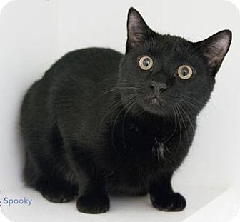 Domestic Shorthair Kitten for adoption in Merrifield, Virginia - Spooky