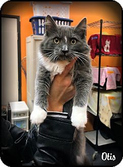 Maine Coon Kitten for adoption in Sherman Oaks, California - Otis
