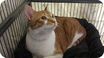 Domestic Shorthair Cat for adoption in Freeport, New York - Cupid