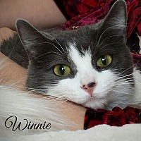 Domestic Shorthair Cat for adoption in Manitowoc, Wisconsin - Winnie