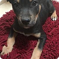 Adopt A Pet :: Nico - Tucson, AZ