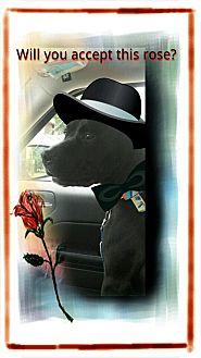 Labrador Retriever/American Bulldog Mix Dog for adoption in Elyria, Ohio - George