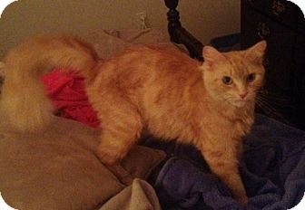 Domestic Mediumhair Cat for adoption in Greenville, South Carolina - Allie