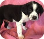 Labrador Retriever Mix Puppy for adoption in Manchester, Connecticut - Willie ADOPTION PENDING