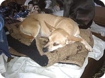 Terrier (Unknown Type, Small)/Feist Mix Dog for adoption in Quentin, Pennsylvania - Henry - Adopted!!!