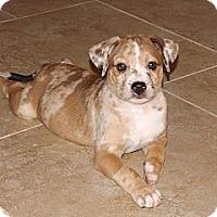 Adopt A Pet :: Brea - Phoenix, AZ