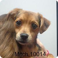 Adopt A Pet :: Mitch - Greencastle, NC