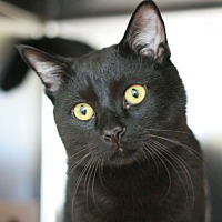Domestic Shorthair Cat for adoption in Canoga Park, California - Pepper