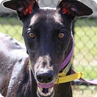 Greyhound Dog for adoption in Longwood, Florida - Fuzzys Jose Cruz