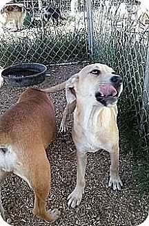 Labrador Retriever/Boxer Mix Puppy for adoption in Wytheville, Virginia - Isme