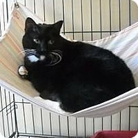 Domestic Shorthair Cat for adoption in Freeport, New York - Madison