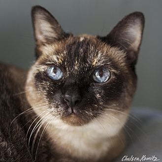 Siamese Cat for adoption in Los Angeles, California - Giselle