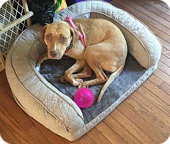 Labrador Retriever Mix Dog for adoption in Westminster, Maryland - Caroline