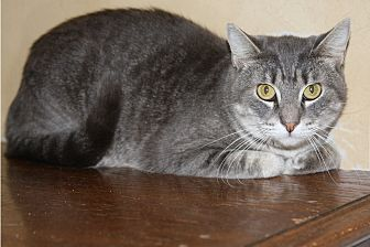 Domestic Shorthair Cat for adoption in Torrance, California - Phantom