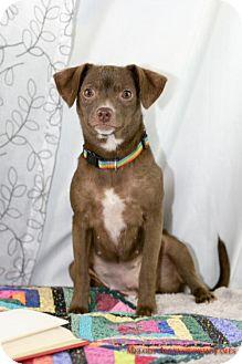 Chihuahua Dog for adoption in Fayetteville, Arkansas - Maya