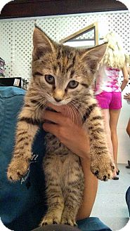 Domestic Shorthair Kitten for adoption in Austintown, Ohio - Rhea