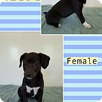 Adopt A Pet :: Heidi in CT - Manchester, CT