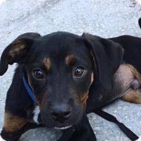 Adopt A Pet :: PUPPY-MR. PIGGY - DeLand, FL