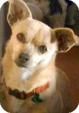 Chihuahua Mix Dog for adoption in Los Angeles, California - Blanche *VIDEO*
