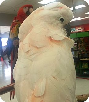Cockatoo for adoption in Lenexa, Kansas - Alberta