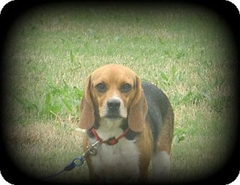 Beagle Mix Dog for adoption in Indian Trail, North Carolina - Blossom