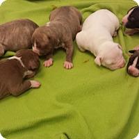 Adopt A Pet :: Pit mix pup dark brindle - Scottsdale, AZ