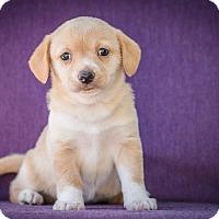 Adopt A Pet :: Migas - Austin, TX