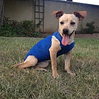 Terrier (Unknown Type, Medium)/Chihuahua Mix Dog for adoption in Fresno, California - Shawleen