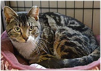 Domestic Shorthair Cat for adoption in Milford, Massachusetts - Giovanni