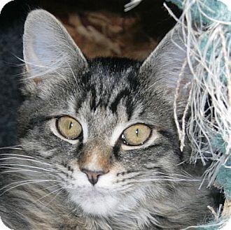 Domestic Shorthair Cat for adoption in Port Angeles, Washington - Bismarck