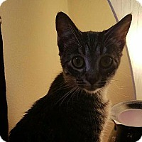 Domestic Shorthair Cat for adoption in Tampa, Florida - Gracee