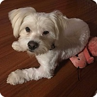 Terrier (Unknown Type, Medium) Mix Dog for adoption in Concord, California - Radio/Fluffy