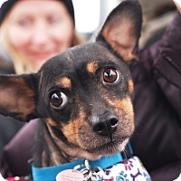 Rat Terrier/Terrier (Unknown Type, Small) Mix Dog for adoption in Astoria, New York - Annabelle