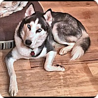 Adopt A Pet :: Meeko - Adoption Pending! - Monument, CO