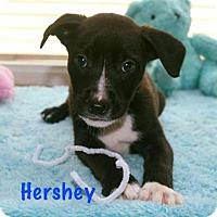 Adopt A Pet :: Hershey - Durham, NC