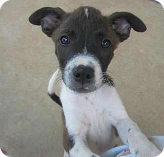 Labrador Retriever/Shepherd (Unknown Type) Mix Puppy for adoption in Arlington, Texas - Lewis