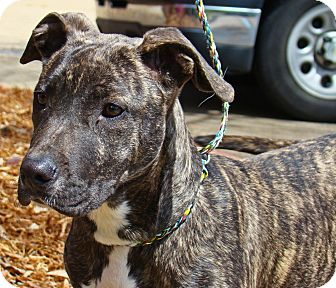 Cookie #2 | Adopted Dog | Groton, MA | Pit Bull Terrier ...
