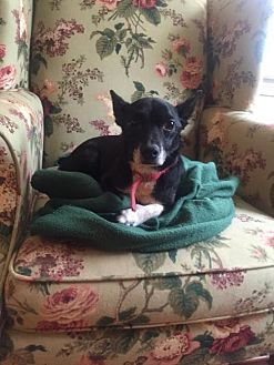 Chihuahua/Miniature Pinscher Mix Dog for adoption in Columbia, Tennessee - Toby/AL