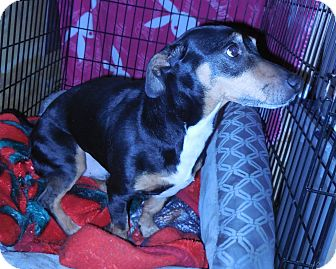 Dachshund/Rat Terrier Mix Dog for adoption in Whiting, Indiana - Zing