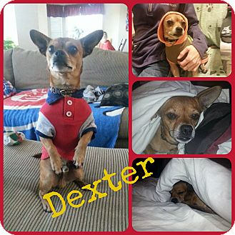 Chihuahua Mix Dog for adoption in Ft Worth, Texas - Dexter